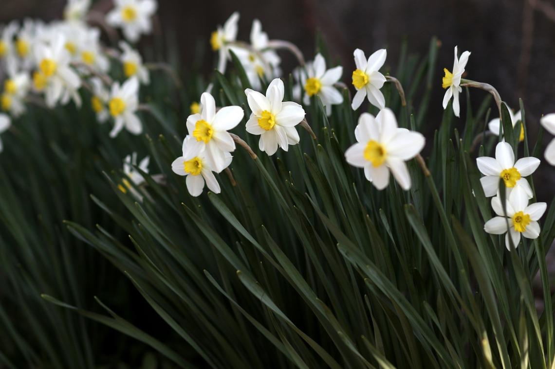 daffodil-4096367_1280
