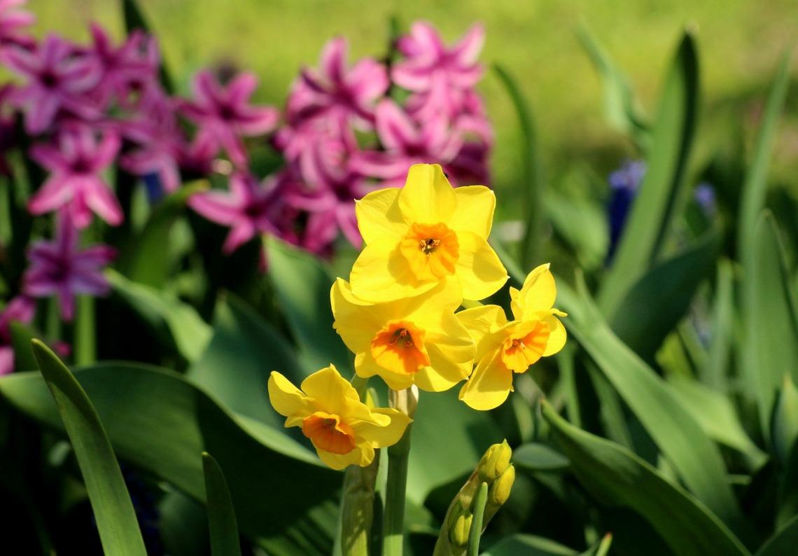 daffodil-4108101_1280