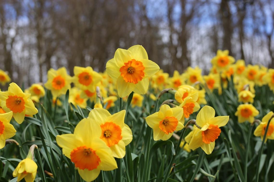daffodils-3926251_1280
