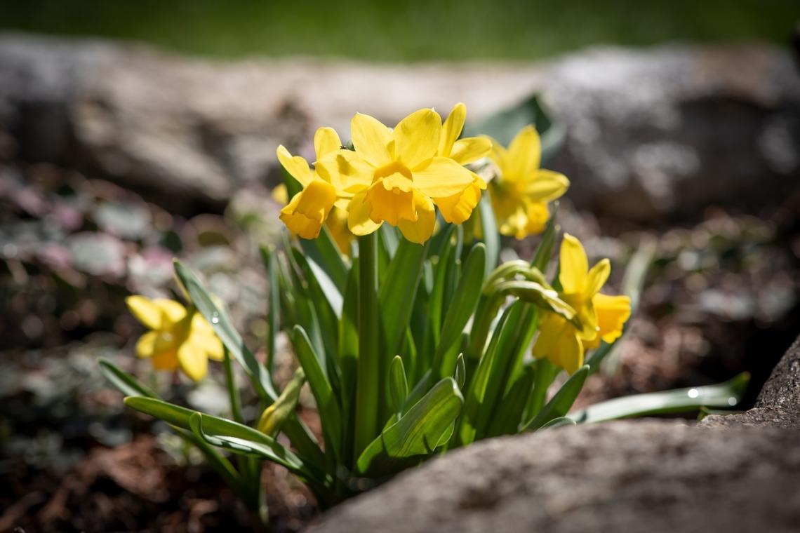 daffodils-4129350_1280