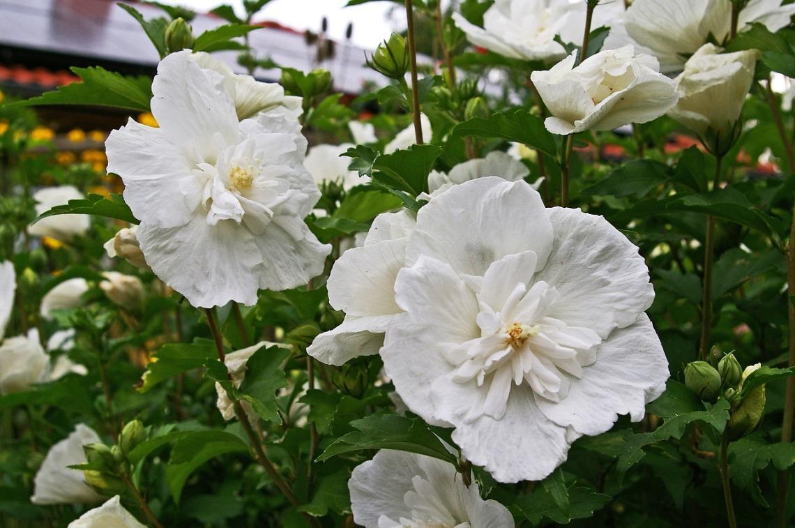 hibiscus-3607824_1280