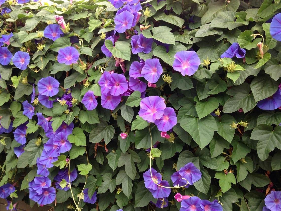 blue-flowers-946559_1280