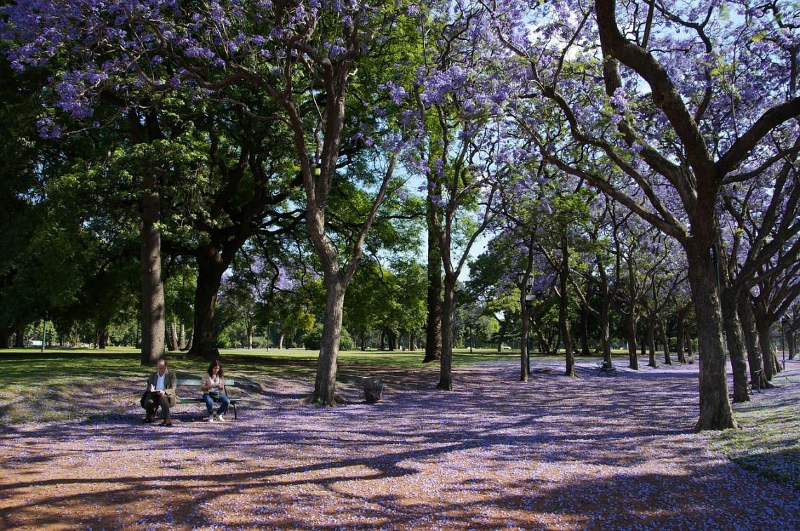 jacaranda-trees-163245_1280