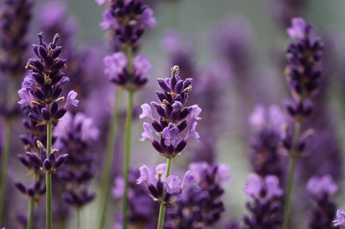 lavender-3479492_1280(1)