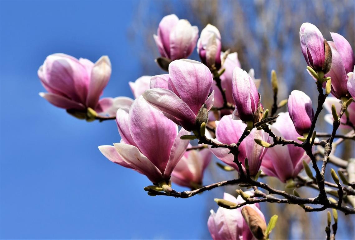 magnolia-4107313_1280