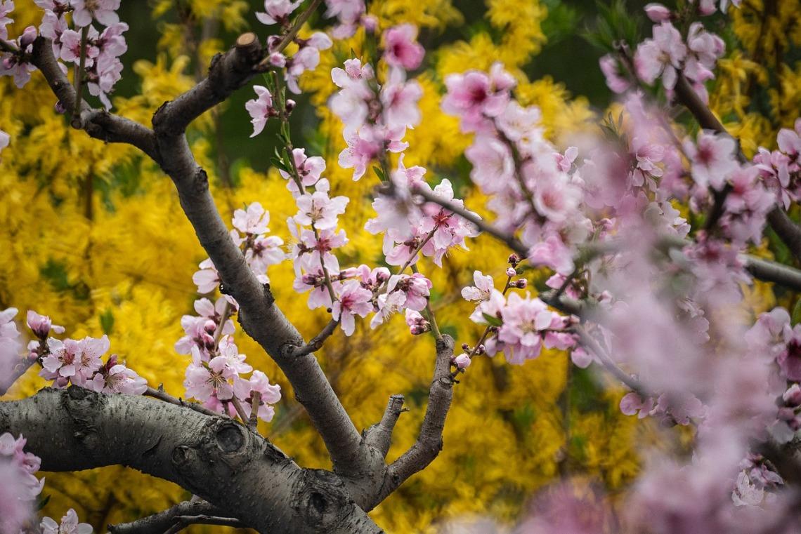 cherry-blossoms-4852942_1280