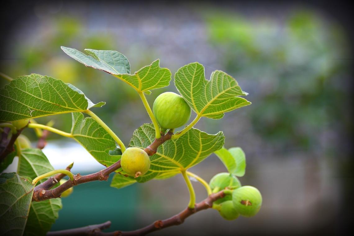 fig-tree-2636801_1280