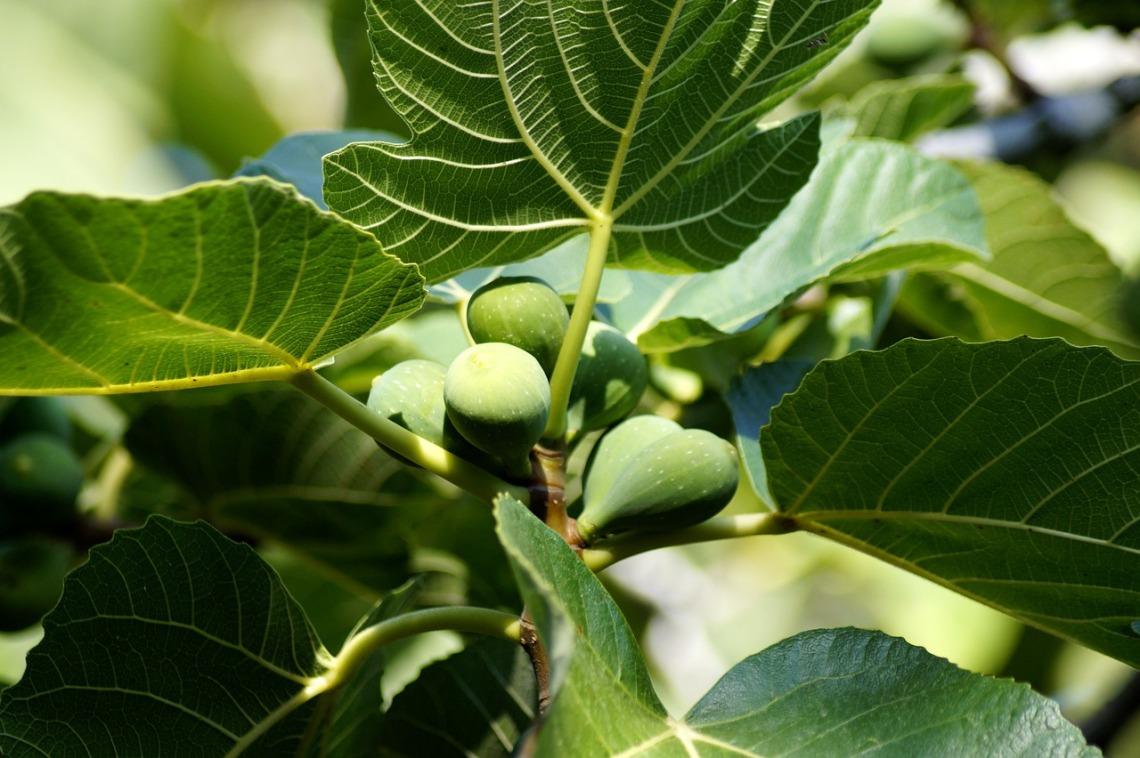 fig-tree-4432033_1280