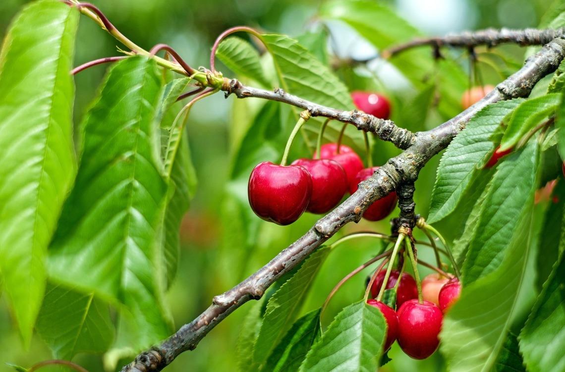 cherry-1437707_1280