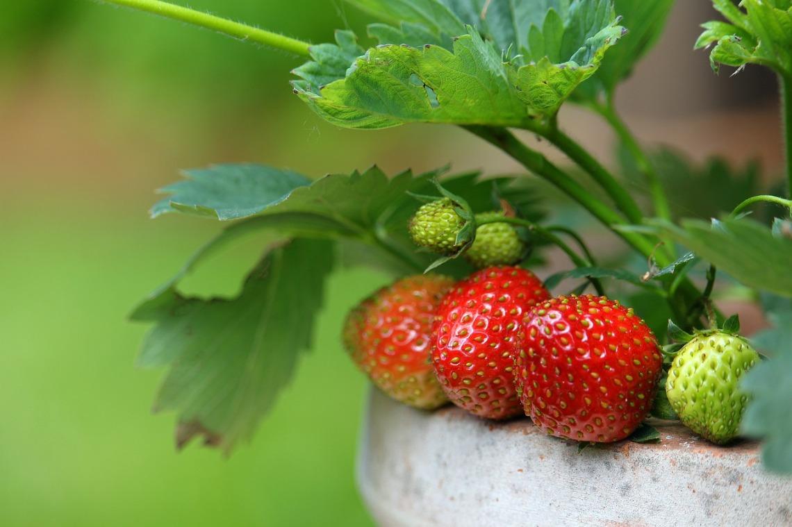 strawberries-4284091_1280